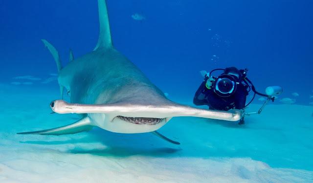 ikan hiu martil dan penyelam