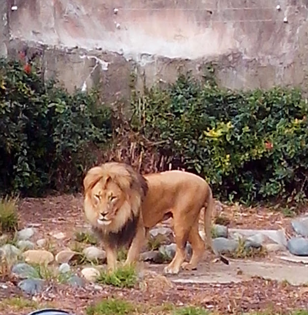 leao grande no zoologico