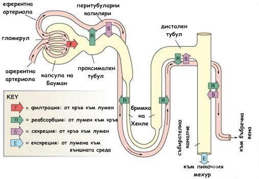 Схема на бъбречната филтрация и отделяне на урина