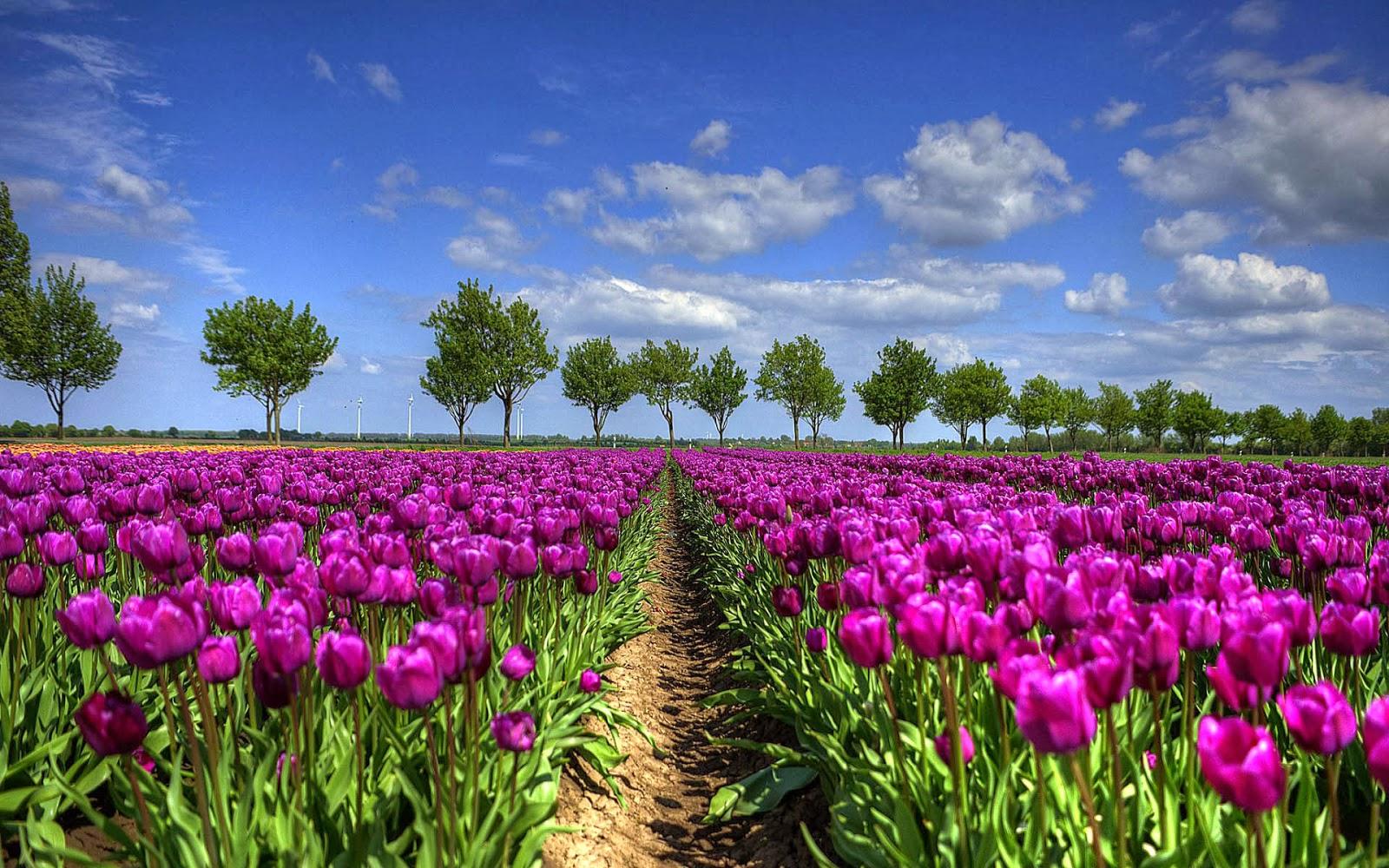 Roze paarse Hollandse tulpen in het veld