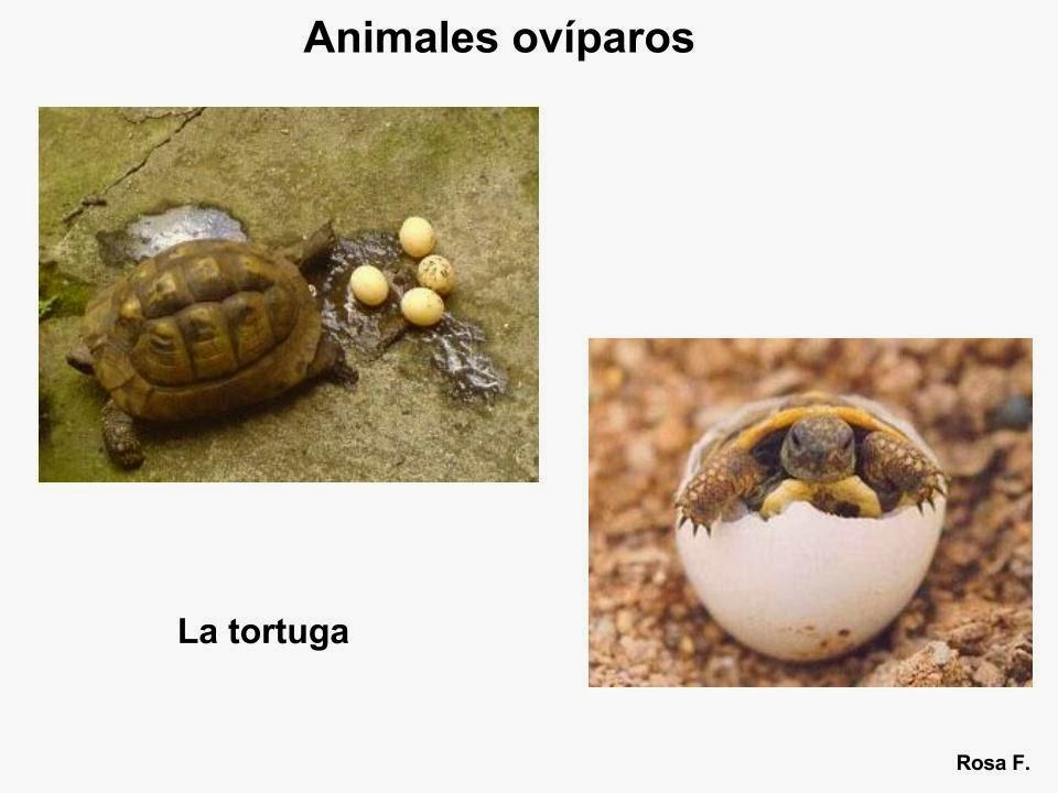 Maestra de Primaria: Animales ovíparos. Vocabulario en ...