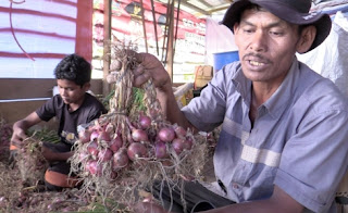 Sumut Masih Kekurangan Produksi Bawang Merah