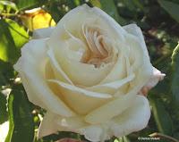 Creamy heritage rose - Christchurch Botanic Gardens, New Zealand