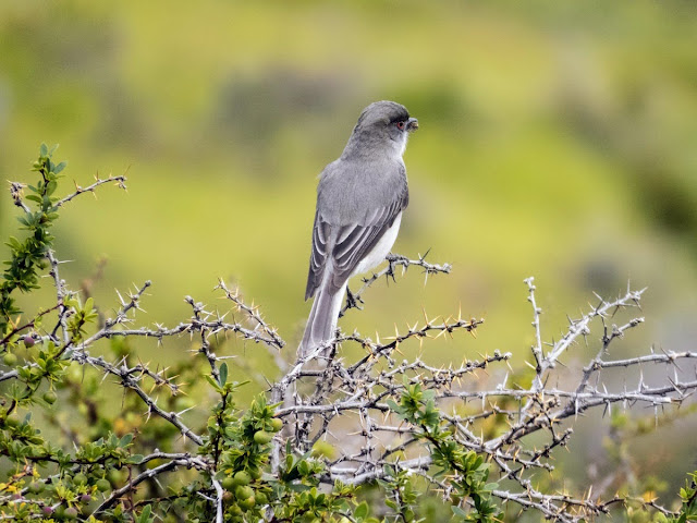 Birds of Patagonia: Fire-eyed Diucon near Puerto Natales Chile