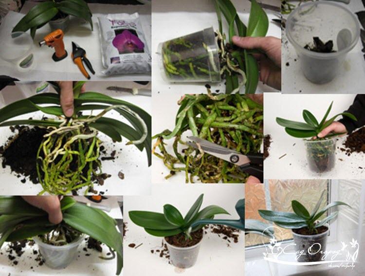 Как и когда правильно пересадить орхидею