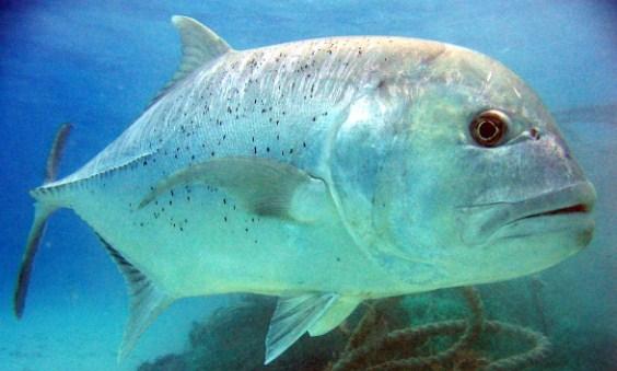 Yuk Mengenal Jenis Jenis Ikan Laut Bernilai Ekonomis Tinggi Superperikanan