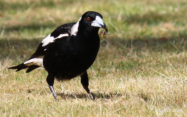 Australian magpie with wasp