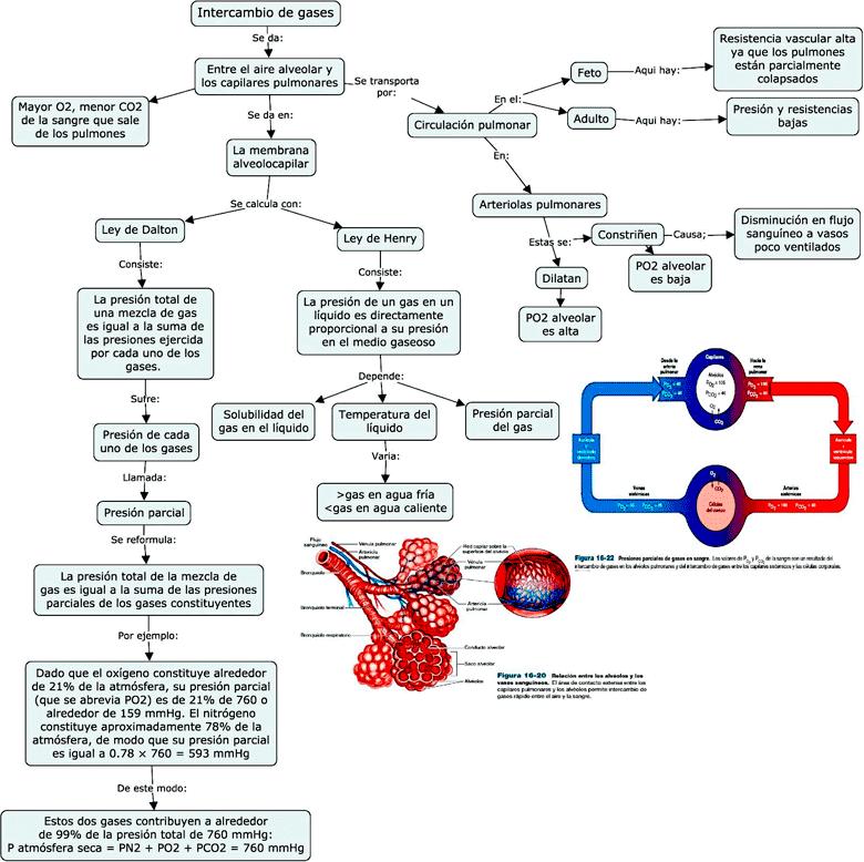 imagen de Mapa conceptual sobre el Intercambio de gases