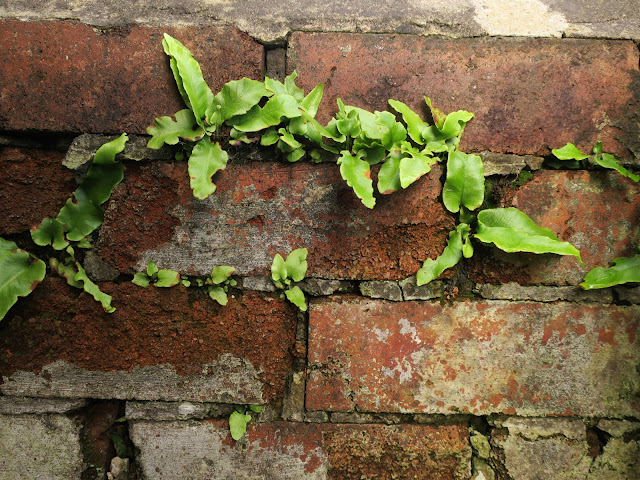 Harts Tongue Fern in wall in Halifax, West Yorkshire. 1st November 2020.