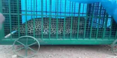 Man Eater Leopard Captured Forest Official Chindwara MP