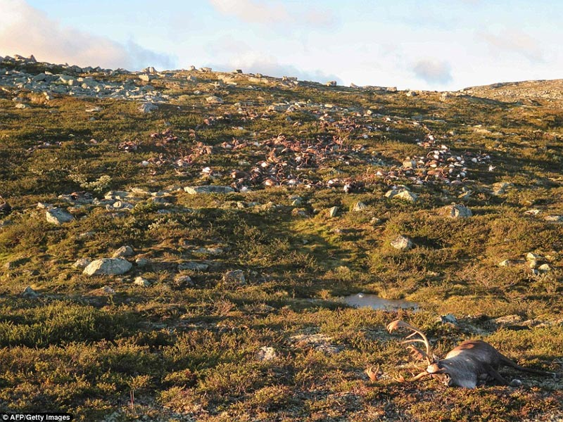 Single lightning kills over 300 wild animals in Norway