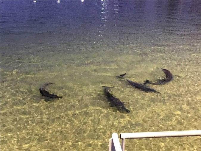 タンガルーマアイランドリゾートに来る野生のイルカ達の写真