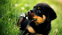 Rottweiler dog puppies photos_Canis lupus familiaris