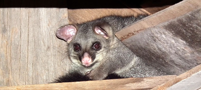 Brush-tailed Possum in Brayshaw's Shepherd Hut, Namadgi NP, ACT. Photographed by Susan Walter. Tour the Loire Valley with a classic car and a private guide.