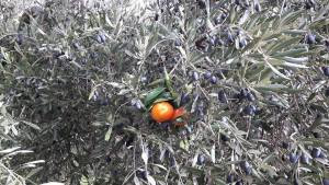 olivo,mandarina, injerto, olivos mandarinos