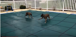 These Boxer Dogs Love Their Slip 'n' Slide On Pool Cover