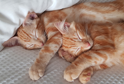 two ginger tabby kittens sleeping next to each other