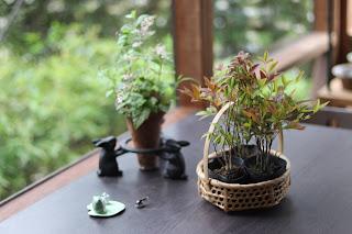 ヒトツバショウマの山野草盆栽とカゴに入った苗木