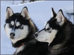 pareja de siberian husky blancos y negros en la nieve
