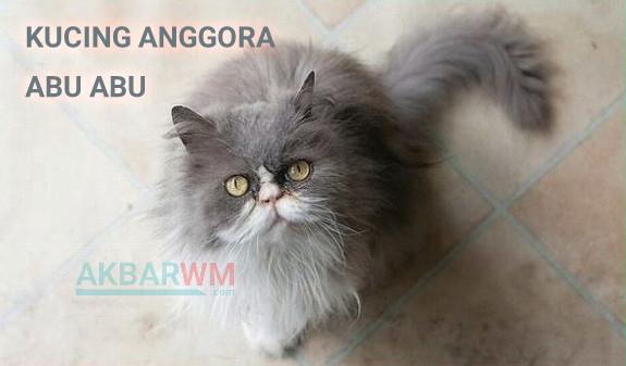 Kucing anggora abu abu