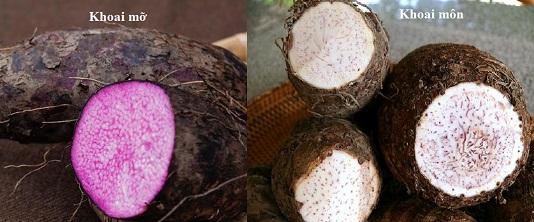 Cách trồng khoai mỡ & Kỹ thuật trồng khoai tía
