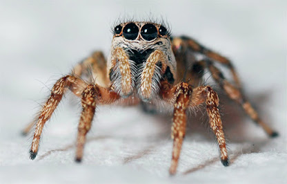 Public domain image, an impressive looking arachnid