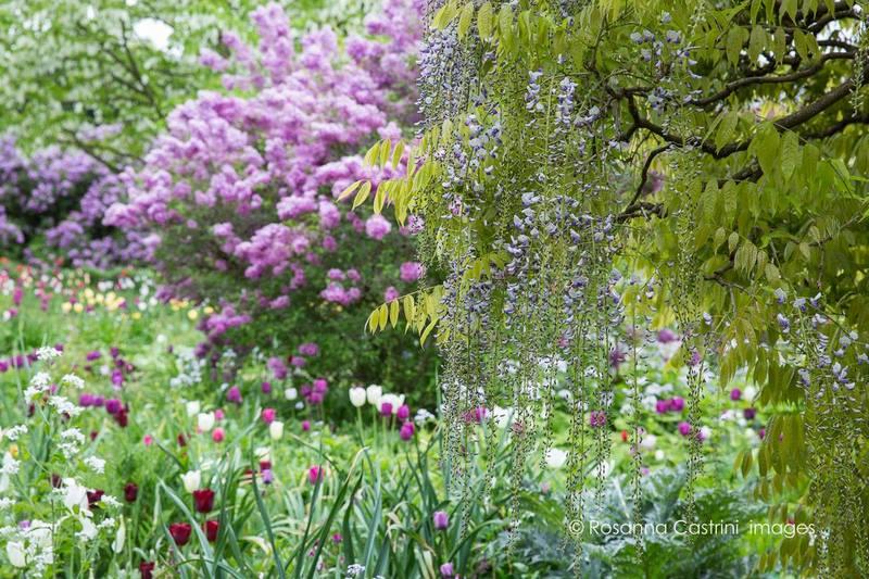 Glicinias y tulipanes en Hermannshof: Wisteria floribunda 'Macrobotrys'