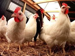 obat ayam badan bengkak