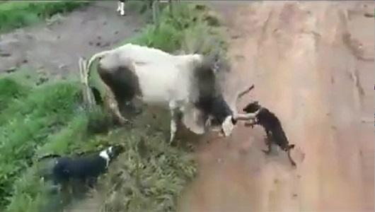 هجوم كلاب شرسة على بقرة عجوز ومحاولة الدفاع عن نفسها
