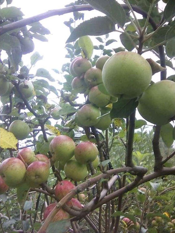 Bisa Borong! bibit apel manalagi benih pohon tanaman buah bisa untuk tabulampot taman Kota Bandung #bibit buah genjah