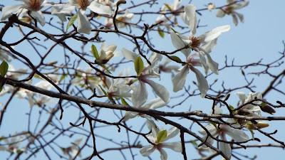 六義園のコブシの花