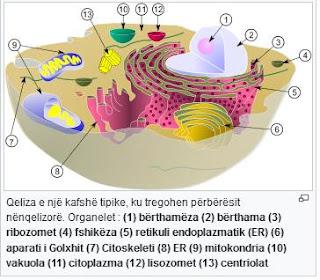 Çka është Citoplazma?, Qka eshte citoplazma, Organet qelizore, roli i citoplazmes, funksioni i citoplazmes,