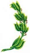 El laurel del Escudo del Perú