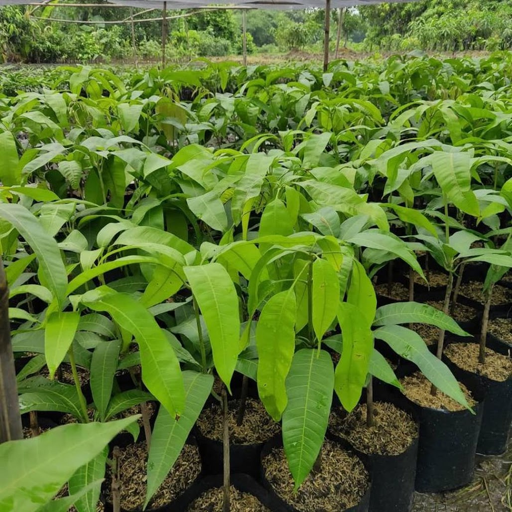 bibit mangga harum manis Sumatra Barat