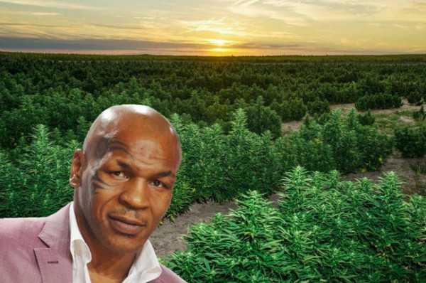 Menggiurkan! Perbulan Mike Tyson Bisa Hasilkan 7,1 Miliar Rupiah Dari Kebun Ganja