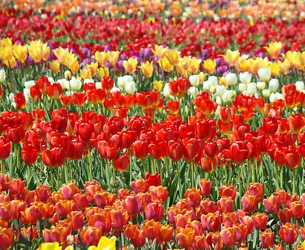 Tulip Flower Tulip Care A Must For Spring Gardens