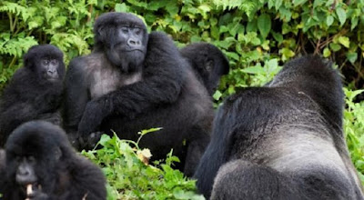 Focus on great apes creates glaring research gaps in tropical Africa and Asia