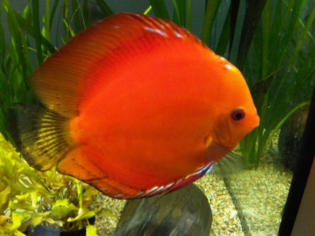 Dunia Ikan Hias - DISCUS MARLBORO RED