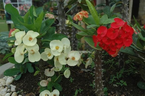 4 Manfaat Bunga Eforbia Untuk Pengobatan Rumahan