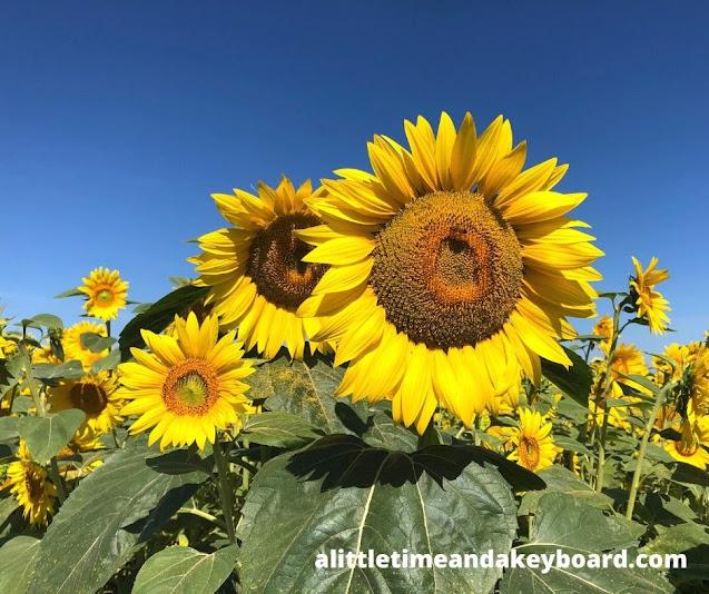 Brilliant sunflowers fill Von Bergen's Sunflower Maze in Hebron, Illinois
