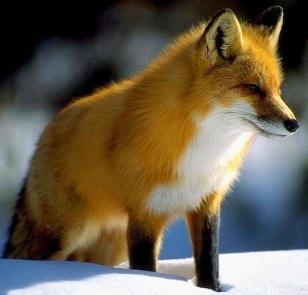 Foto de un zorro chequeando a su presa