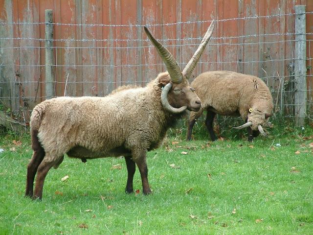 многорогие овцы на острове Мэн