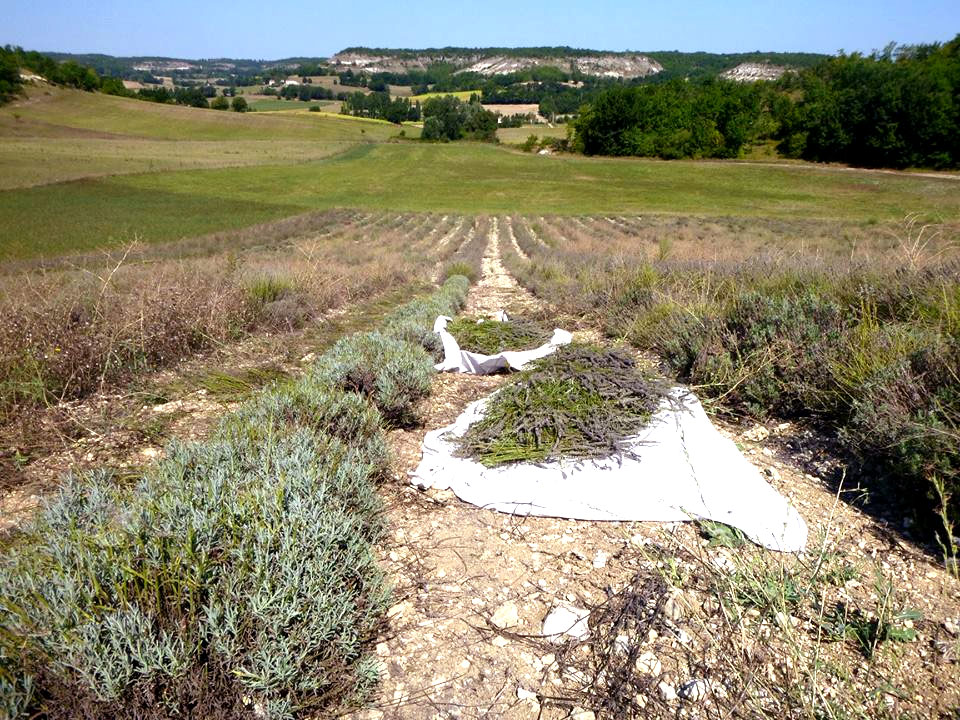 Lavender Fields in Sainte Alauzie