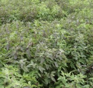 tulsi-farming