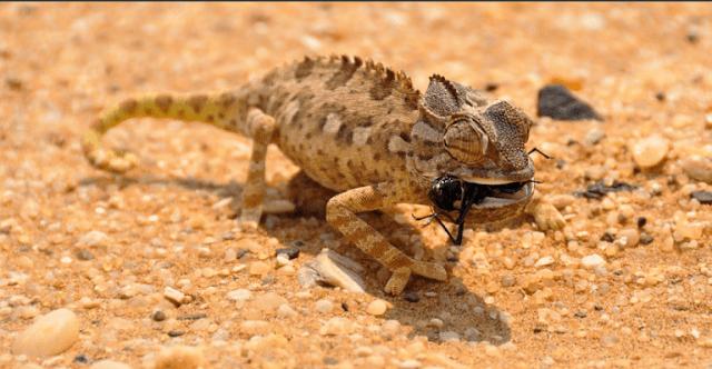 37 Makanan Bunglon Jenis Iguana Harga Karakteristik Jenis