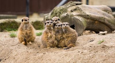 Meerkats huddled together