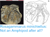 http://sciencythoughts.blogspot.co.uk/2016/10/rosagammarus-minichiellus-not-amphipod.html