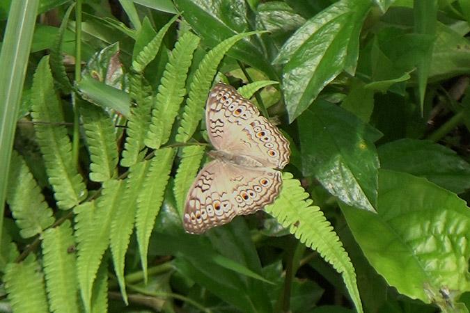 Dlium Gray pansy (Junonia atlites)