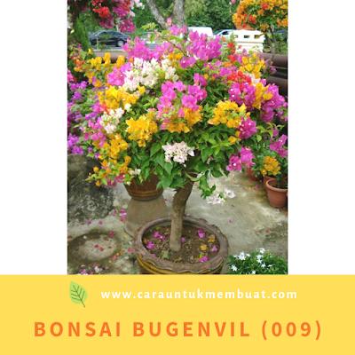 Bonsai Bugenvil (009)