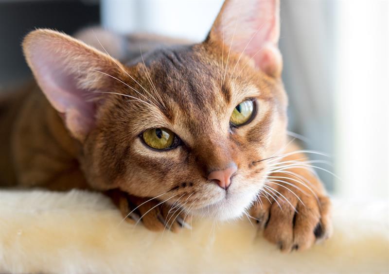 Ascariasis σε γάτες Εντερική Απειλή